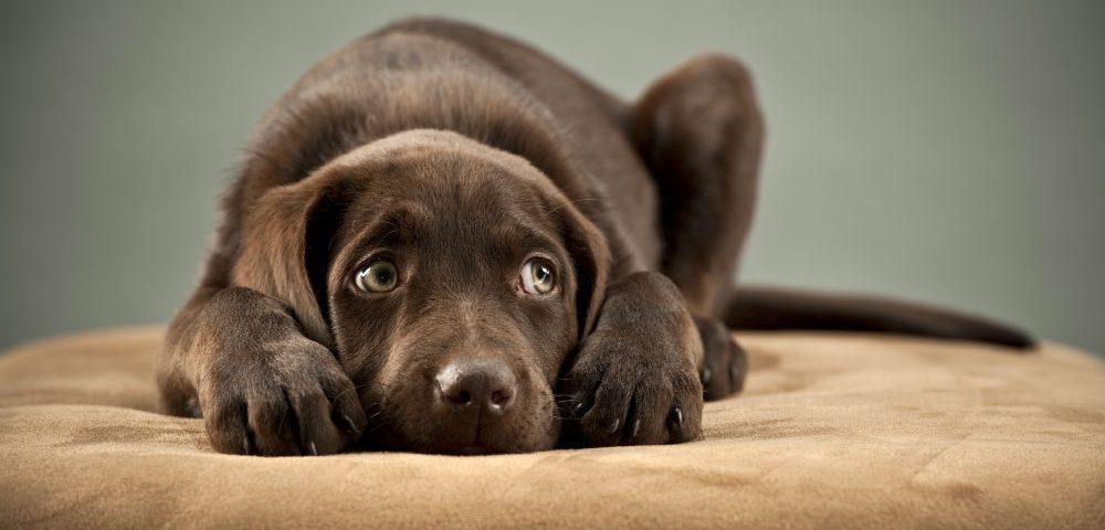 parasites externes du chien et du chat