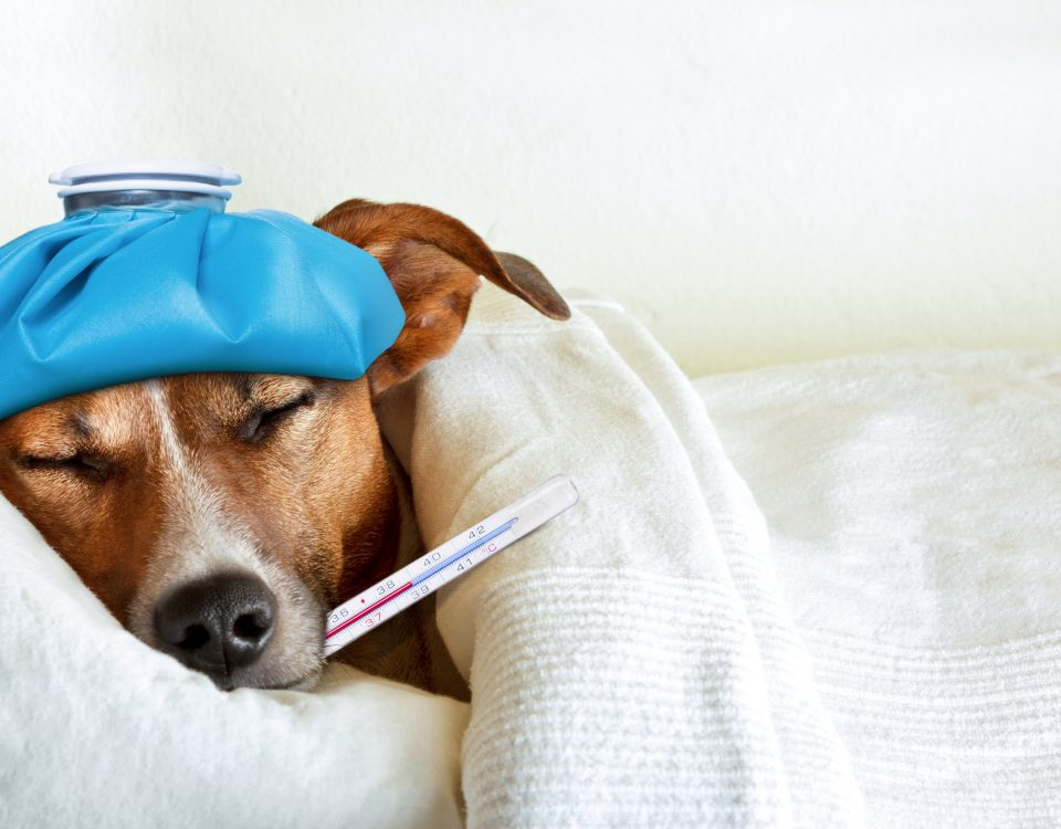 jack russell dog sleeping in bed with high fever temperature, ice bag on head, thermometer in mouth, covered by a blanket