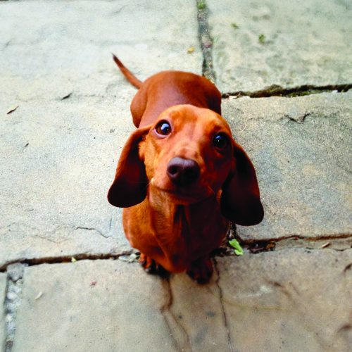 Obedient miniature dachshund sitting patiently.