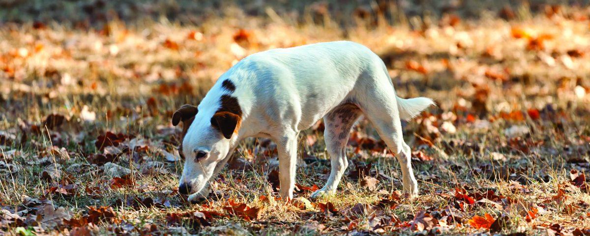 cavage - chien - truffe - nez