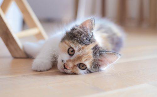 chaton tricolore