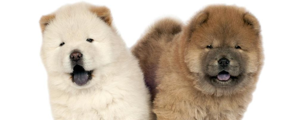 chow-chow-city-pattes