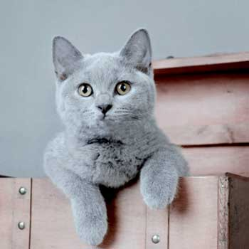 chat-british-shorthair-city-pattes