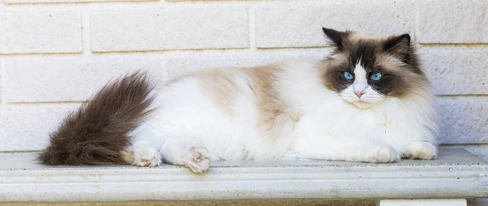 chat-ragdoll-city-pattes