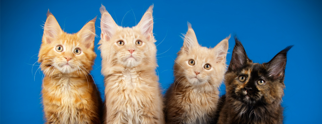 city-pattes-chatons-mainecoon