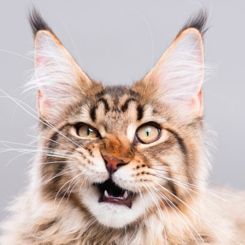 city-pattes-chat-mainecoon